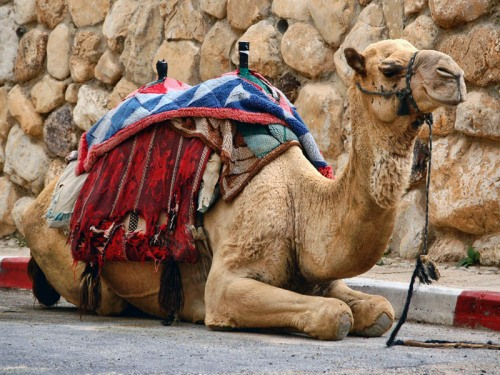 Camel at Qumran near the Dead Sea. Photo by Ferrell Jenkins.