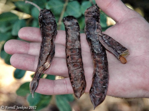 Carob pods near the Valley of Aijalon. Photo by Ferrell Jenkins.
