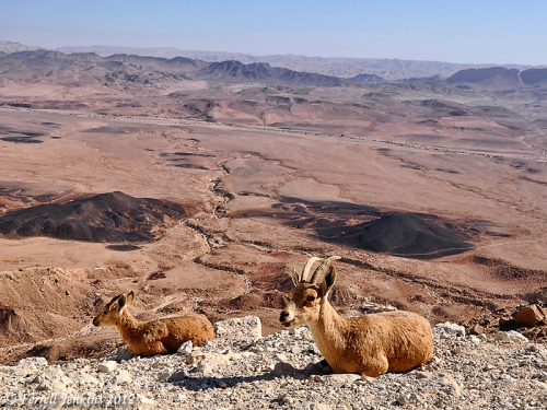 Ibex enjoy the view at Mitzpe Ramon in the Wilderness of Zin. Photo by Ferrell Jenkins.