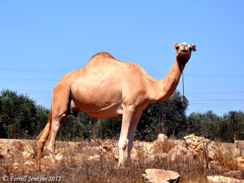 A camel in the West Bank near the edge of the wilderness. Photo by Ferrell Jenkins.