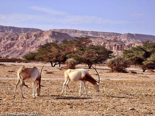 Arabian Oryx at Hai-Bar Nature Reserve. Photo by Ferrell Jenkins.