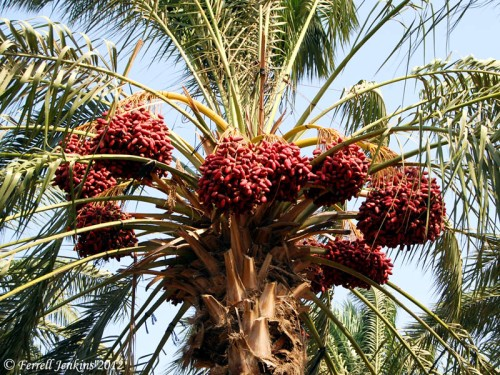Date Palm growing near the Sea of Galilee. Photo by Ferrell Jenkins.