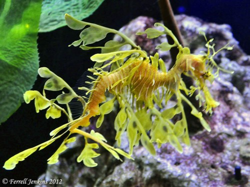 Leafy Dragon at the Florida Aquarium, Tampa, FL. Photo by Ferrell Jenkins.