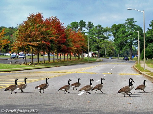 Geese in North Alabama. Photo by Ferrell Jenkins.