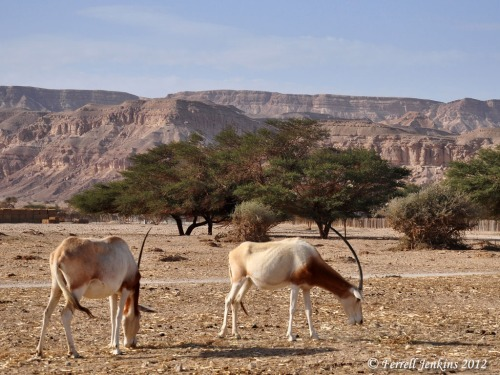 Arabian Oryx at Hai-Bar Nature Reserve near Eilat, Israel. Photo by Ferrell Jenkins.