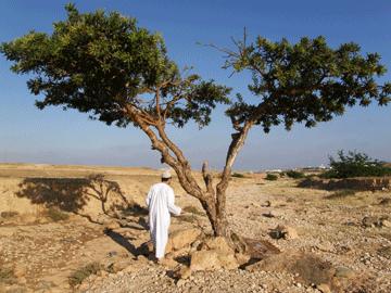 Frankincense tree, Salalah, Oman.