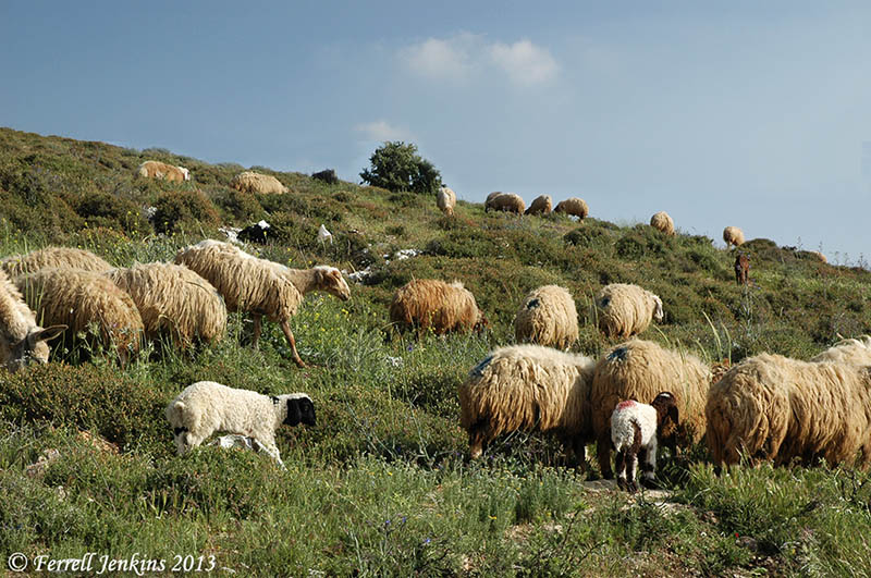 Image result for sheep pasture in israel