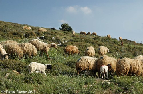 Sheep near Heshbon in Trans-Jordan. Photo by Ferrell Jenkins.