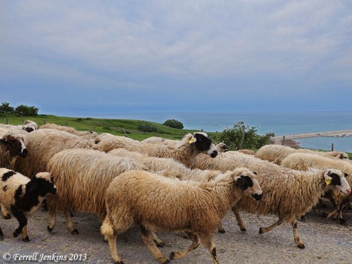 Sheep on the road east of Sinope, above the Black Sea. Photo by Ferrell Jenkins.