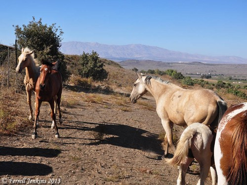 Horses in the Golan Heights. Mount Hermon in the distance. Photo by Ferrell Jenkins.