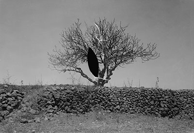 Fig tree after the 1915 locust plague.