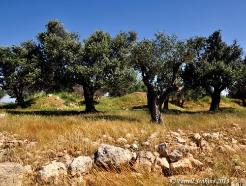 Olive trees near the Kathisma church. Photo by Ferrell Jenkins.