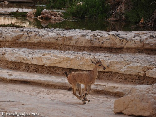 Young Ibex on the run at En Avdat. Photo by Ferrell Jenkins.