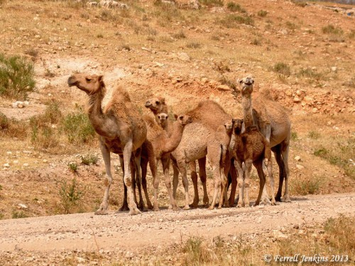 Camels at Meholah in the Jordan Valley. Photo by Ferrell Jenkins.