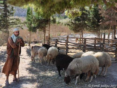 Shepherd with his sheep at Nazareth Village. Photo by Ferrell Jenkins.