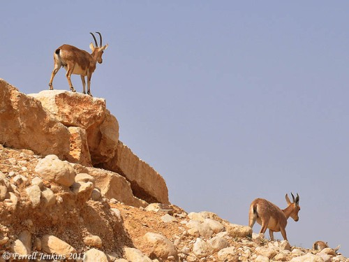 Ibex in the wilderness of Zin near En Avdat. Photo by Ferrell Jenkins.