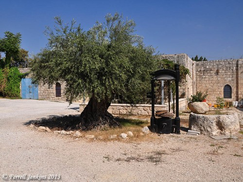 A large olive tree with two old olive presses at Beit Jamal. Photo by Ferrell Jenkins.