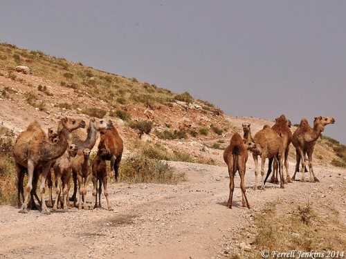 Camels at Abel-meholah, possibly the home of the prophet Elisha. Photo by Ferrell Jenkins.