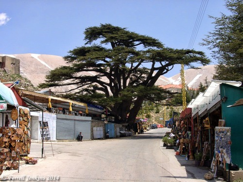 Cedar of Lebanon in a little village at the location of the largest remaining grove. Photo by Ferrell Jenkins.