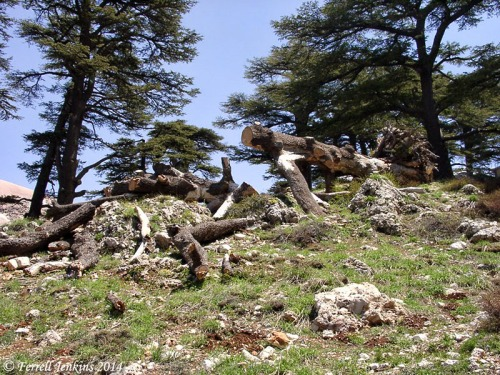 Cedars of Lebanon are now protected from cutting. Photo by Ferrell Jenkins.