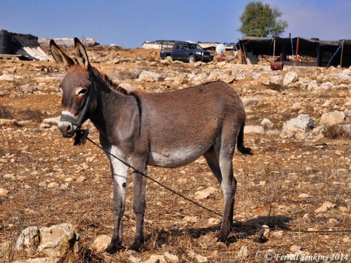 Donkey north of Nebi Samwil. Photo by Ferrell Jenkins.