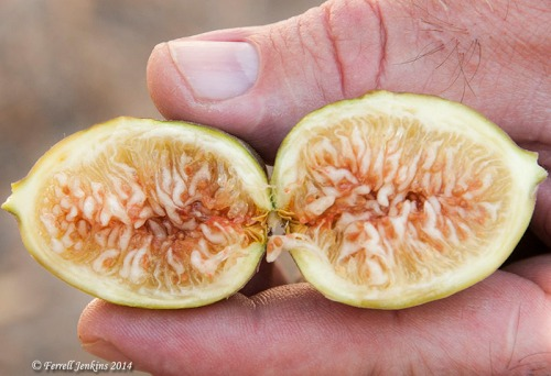 A fresh fall fig from Shechem. Photo by Ferrell Jenkins.