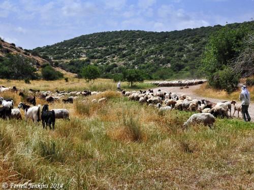 Shepherds tending their flocks at Socoh. Photo by Ferrell Jenkins.