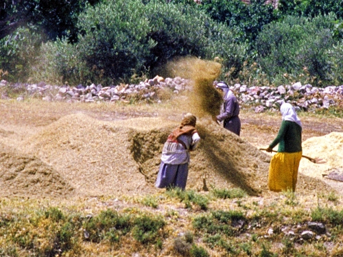 Winnowing at Shechem. Photo by Ferrell Jenkins.