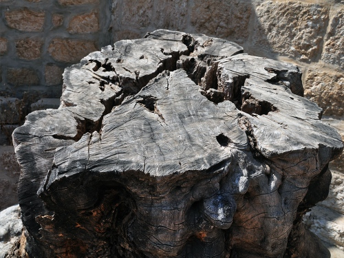 Stump of an olive tree at Beit Jimal. Photo by Ferrell Jenkins.