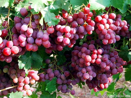 Grapes at Lachish. Photo by Ferrell Jenkins.