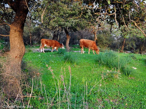 Cows graze among the Allon Oak trees at Galilean Bethlehem. Photo by Ferrell Jenkins.