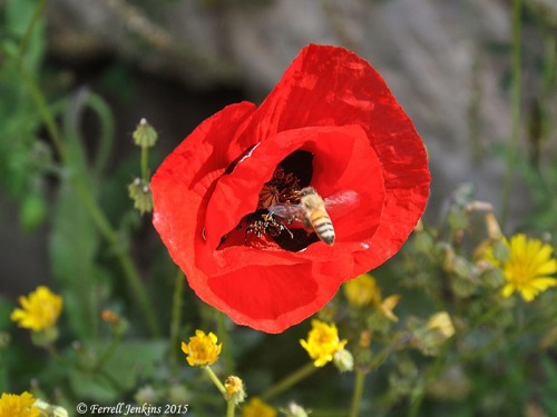 A poppy and a bee at the Pool of Bethesda, Jerusalem. Photo by Ferrell Jenkins.