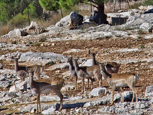 Young fallow deer at Neot Kedumim. Photo by Leon Mauldin.