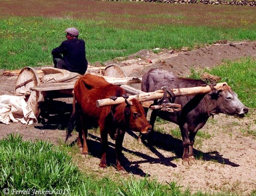 Oxen hitched to a small wagon near Mount Ararat in Turkey. Photo by Ferrell Jenkins.
