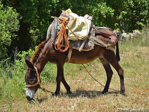 A loaded donkey at Seleucia. Photo by Ferrell Jenkins.