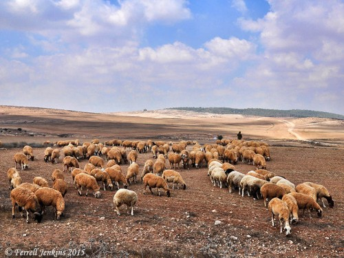 Sheep in the Negev near Tel Halif. Photo by Ferrell Jenkins.