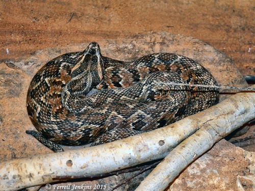 Palestinian Viper at the HaiBar Reserve near Eilat, Israel. Photo by Ferrell Jenkins.