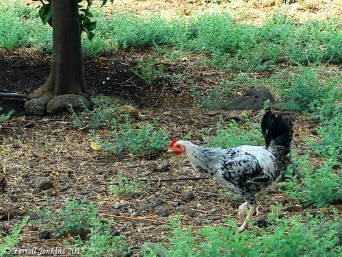 A rooster at the Greek Orthodox property at Capernaum. Photo by Ferrell Jenkins.