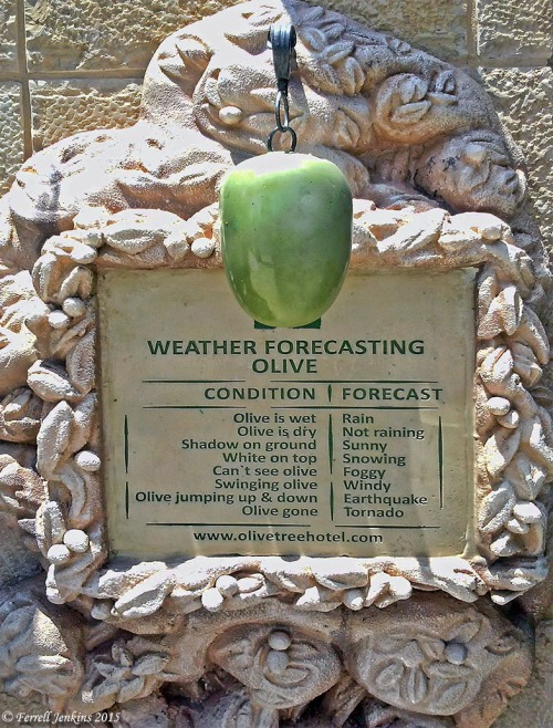 Weather forecasting olive at the Olive Tree Hotel, Jerusalem