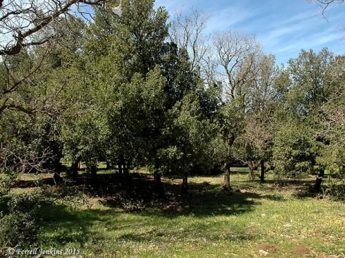 Oaks growing in the Golan Heights. Photo by Ferrell Jenkins.