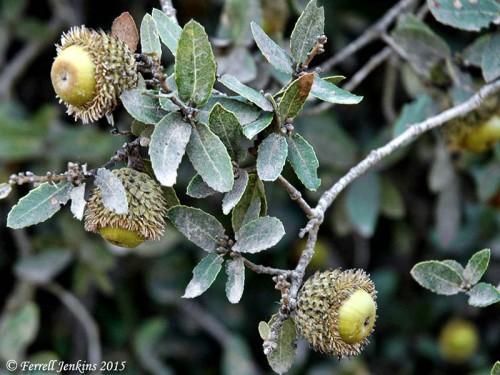 Acorns on the oaks of Bashan. Photo by Ferrell Jenkins.