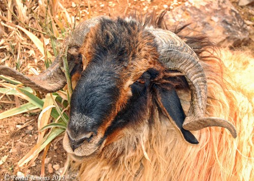 Ram with large horns. Photo taken in northern Jordan near ancient Ramoth Gilead, near the Syrian border in 2008. Photo by Ferrell Jenkins.