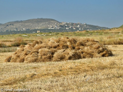 Sheaves in the field near Samaria. Photo by Ferrell Jenkins.