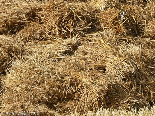 Closeup to show the string around the sheaf of grain. Photo by Ferrell Jenkins.