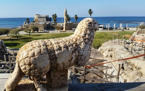 Ram discovered at Caesarea. Photo: Vered Sarig, The Caesarea Development Corp.