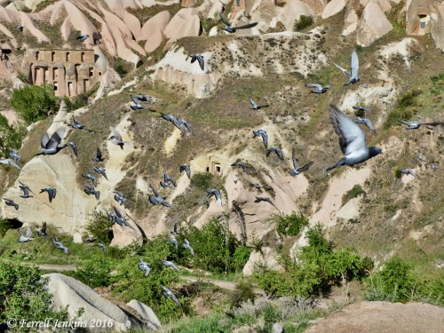 Pigeons flying in Pigeon Valley, Cappadocia. Photo by Ferrell Jenkins.