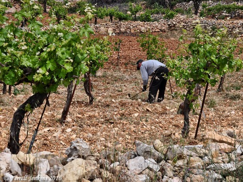 Man digging in vineyard between Bethlehem and Hebron. Photo by Ferrell Jenkins.