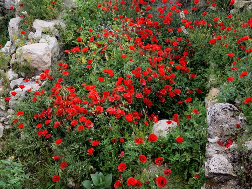 Flowers growing among the ruins in the Old City of Jerusalem near Dung Gate. Photo by Ferrell Jenkins.