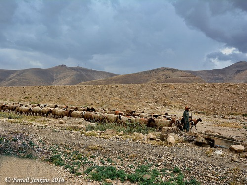 A shepherd leads his sheep in the wilderness. Photo by Ferrell Jenkins.