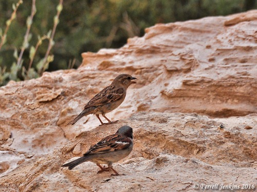 Two sparrows at En Avedat in Israel's Negev. Photo by Ferrell Jenkins.